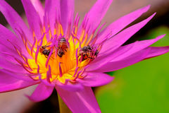 Bees in the beautiful purple lotus flower Royalty Free Stock Image