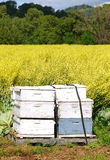 Bees. Bee boxes and bees at a field full of Yellow flowers as a cover crop in a field near Umpqua Oregon Royalty Free Stock Photography