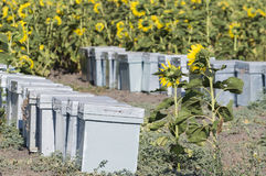 Bees. Bee hives on sunflower fields in summer Royalty Free Stock Images