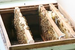 Bees in beehive Stock Photography