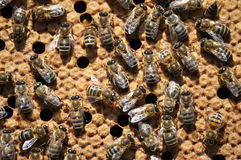 Bees on a beehive frame with a closed brood_2 Royalty Free Stock Photography