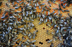 Bees on a beehive frame with a closed brood_6 Stock Photos