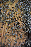 Bees on a beehive frame with a closed brood_7 Stock Photo
