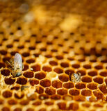 Bees in a beehive on honeycomb Royalty Free Stock Photos
