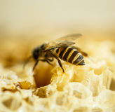 Bees in a beehive on honeycomb Stock Photography