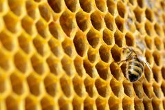 Bees in a beehive on honeycomb with copyspace. Bee turns nectar into fresh and healthy honey. Concept of beekeeping. Royalty Free Stock Images