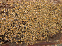 Bees beehive honeycombs honey Asia apiary Siam Tha Royalty Free Stock Image