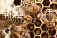 Bees in a beehive Royalty Free Stock Image