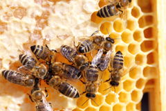 Bees on a beeswax Stock Image