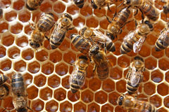 Bees Behind Work Royalty Free Stock Image