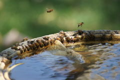 Bees on Bird Bath Stock Image