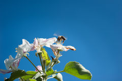 Bees in the  blossom Royalty Free Stock Photos