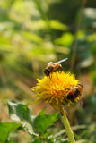 Bees on bright yellow flower Royalty Free Stock Images