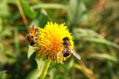 Bees on bright yellow flower Royalty Free Stock Photo