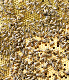 Bees on brood comb Stock Image