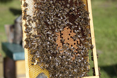 Bees with brood comb Royalty Free Stock Photos