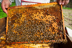 Bees Broods Stock Photo