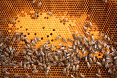 Bees Broods Royalty Free Stock Photography
