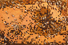 Bees Broods Stock Images