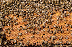 Bees Broods, working bee larvae heated on honeycomb Stock Photos