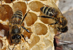 The bees build honeycombs Stock Images