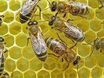 Bees build honeycombs. stock photography