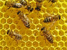 Bees build honeycombs. stock image