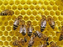 Bees build honeycombs. Bees build honeycombs is a cell for placing of nectar, honey, pollen and bee-bread Royalty Free Stock Photos