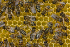 Bees build honeycombs Stock Image