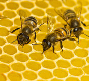Bees build honeycombs stock photo