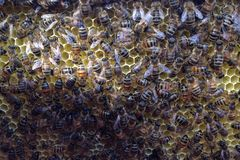 Bees build honeycombs in a beehive Royalty Free Stock Photo
