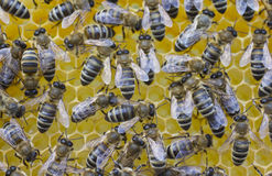 Bees build honeycombs Stock Images