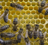 Bees build honeycombs Royalty Free Stock Photo
