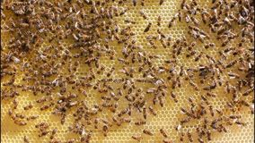 Bees build honeycombs stock video