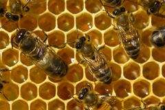 Bees build honeycombs and honey close to them. Stock Image