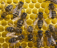 Bees build honeycombs Royalty Free Stock Photography