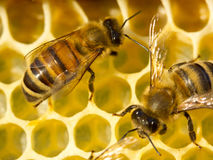 Bees build honeycombs Royalty Free Stock Photos
