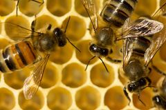 Bees build honeycombs. Work in a team royalty free stock image