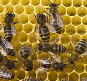 Bees build honeycombs Stock Photography