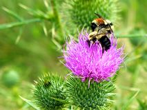 Bees on a Bull Thistle Stock Images