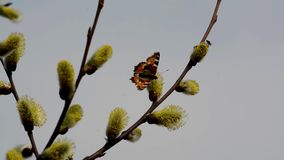 Bees and butterflies gather the nectar from the blossoming willow in spring