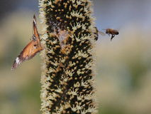Bees and Butterfly. A few bees and a butterfly flying around an australian native plant. South Australia, Australia Stock Photography