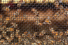 Bees Buzzing. Large number of honey bees crawling along behind a mesh screen stock images