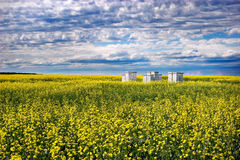 Bees and Canola. Bee hives in a canola field. The black spots in the picture are bees, not dust Royalty Free Stock Image