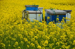 Bees and Canola Stock Image