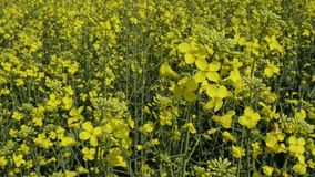 Bees on canola flowers stock video