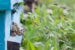 Bees carry nectar to the hive. Flying bees in the spring. stock photos