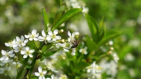 Bees and cherry blossoms. Two bees and beautiful cherry blossoms stock video