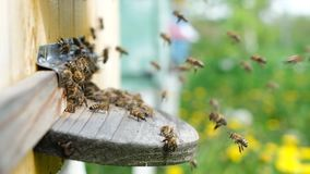 The bees circle around the hive and put the freshly floral nectar and flower pollen inside the hive. Slow-motion video stock video