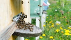 The bees circle around the hive and put the freshly floral nectar and flower pollen inside the hive. Slow-motion video stock footage